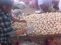 Garlic Products -- China Pure White Garlic, Normal White Garlic Price