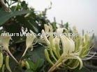 Honey Suckle Flower 98%chlorogenic acid(HPLC)