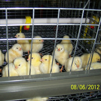 Professional metal wire battery day old broiler chicks for sale