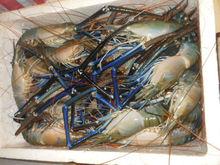fresh water prawn - scampi