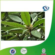 loquat leaf extract,leaf extract,loquat leaf p.e.