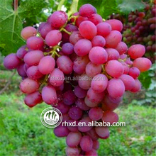 Purple Color and Seeded Grape Variety GLOBAL2015