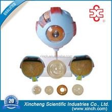 Anatómico del ojo, Ojo humano modelo