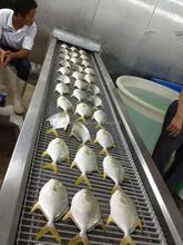 organic frozen golden pomfret dried fish