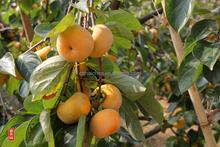 frutta professionale fornitore cinese cachi freschi frutti per la vendita