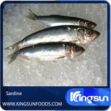 Whole Round Frozen Sardine