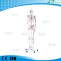 Xc-101a modelo de esqueleto humano con los músculos y los ligamentos