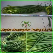 (NEW) Young garlic shoot From china