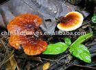 Chá de ervas/ ganoderma lucidum