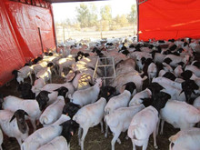100% Full Blood Boer Goats,live Sheep, Cattle, Lambs, live cows Ready for export