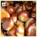 Les meilleurs marrons chinois espèces-- châtaigne fraîche pour la vente