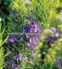 Natural Rosemary Oleoresin