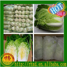 fresh Chinese cabbage for exporting