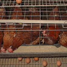 Professional automatic poultry layer chicken farming for eggs