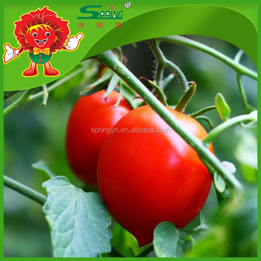 Pickled Red/green Cherry Tomato - Buy Cherry Tomatoes,Pickled ...