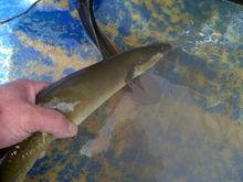 American eel ( Anguilla rostrata)