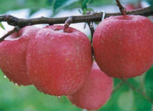 BULK INDIAN FRESH APPLE