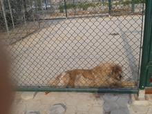 Confortable Room for Puppy Chain Link Fence