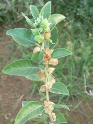 Withania samnifera extract,ashwagandha root extract withanolides 20%