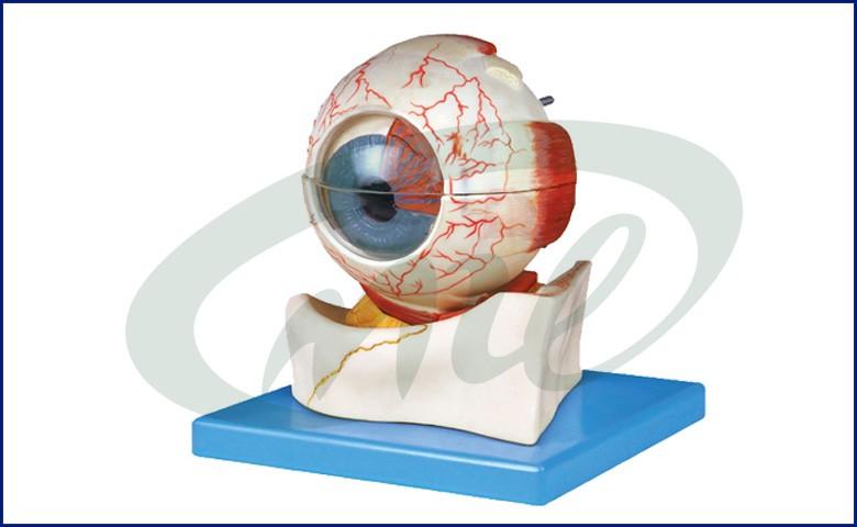 Attractive Eye Ball Anatomy Frieze - Anatomy And Physiology Biology ...