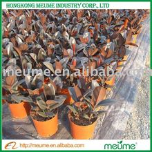 Ficus Elastic Plant House Toxic Gases Absorber Plants