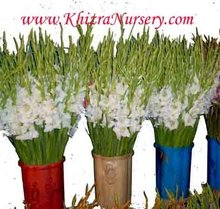 Gladiolus Fresh Cut Flowers Suppliers Wholesalers