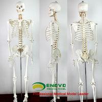 Scientific 170cm Life Size Human Skeleton Teaching Anatomical Model
