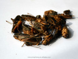 dry crickets for animal feed manufacturer provides straightly