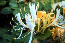 Animal supplement Honeysuckle Flowers Extract 30% (Chlorogenic Acid)