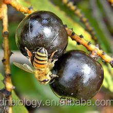 Saw Palmetto Fruit Extract 25% Fatty Acids ( Serenoa repens )