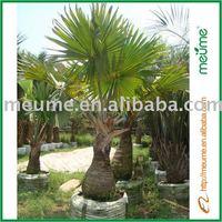 Landscaping Trees Outdoor Palm Plants--Bismarckia Nobilis
