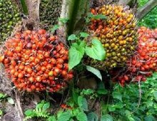 Crude Palm Oil/RBD PALM OIL /Refined palm oil for cooking / Palm Seed
