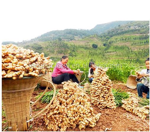 ginger harvest.png