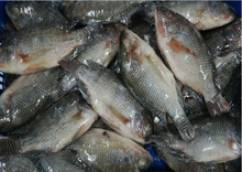 frozen seafood frozen tilapia fish
