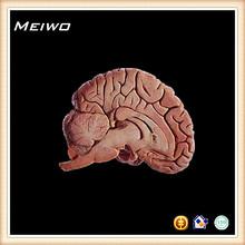 mediana de plano sagital del cerebro humano modelo