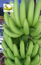 Philippine Fresh Banana