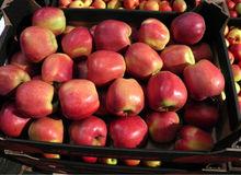 fresh apples: IDARED, LIGOL, JONAGORED, GLOSTER, GOLDEN, GALA, CHAMPION, ELIZA, MUTSU, JONAGOLD, LOBO, RUBINSTAR, JONIKA