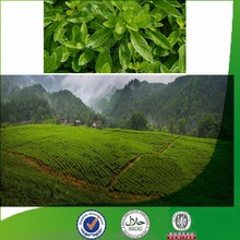 Manufacturer supply Natural & Pure favorable-price Gynura procumbens, flavonoid, new chlorogenic acid, green tea