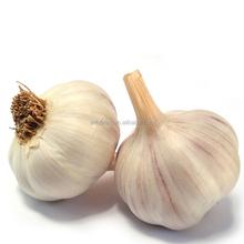 Exporting Standard Chinese Fresh Garlic