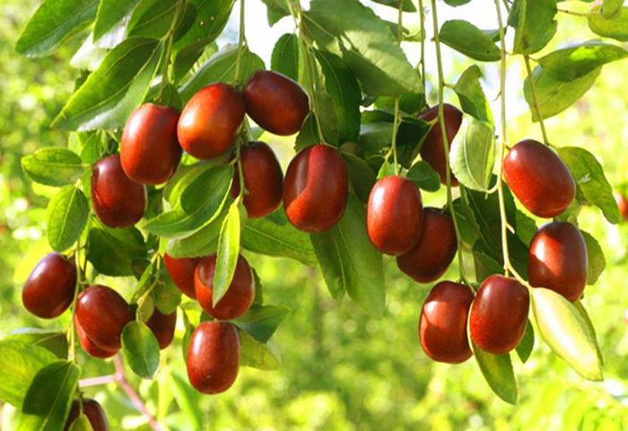 Pure Natural Chinese best big Fruit Extract red jujube powder Hot Sale