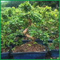 S Shape Small House Decor Plants Carmona Bonsai tree (Fukien Tea)