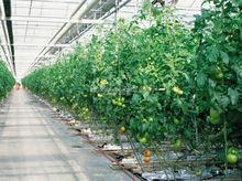 hydroponic greenhouse for tomato