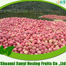 fuji apple scientific name of fruits bulk fresh apples