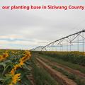 Nuevas semillas de girasol de alta calidad para cultivo (venta caliente)