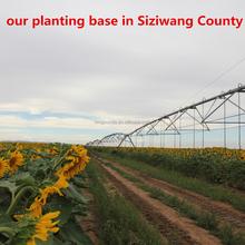 2014 New Crop Sunflower Seeds 5009