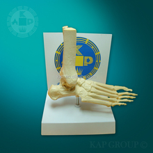 Life-size Human Foot Joint skeleton Model for medical lab