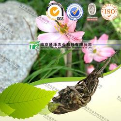 Raw Fruit of Common Sinopodophyllum, Natural Himalayan Mayapple Fruit; Fructus Sino Podophylli, Fructus Sinopodophyllum