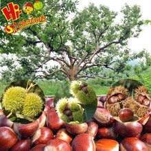 New Crop Fresh Chinese Chestnut--Bulk Hebei Chestnuts for Sales