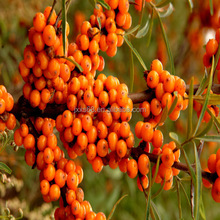 seabuckthorn seed oil with 65% oleic acid, linoleic acid for export