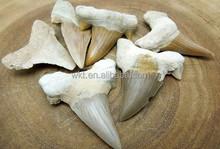 Nuovo!! Grande fossiled denti di squalo pendenti wt-p220 dente di squalo